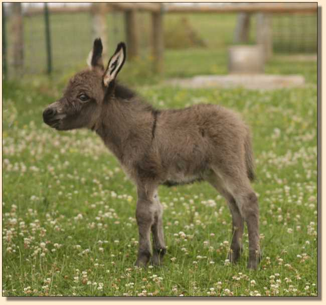 Miniature donkey for sale, Just Jack
