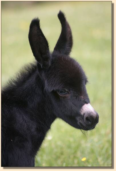 HHAA Ch Ch Ch Change, black miniature donkey foal born at Half Ass Acres.