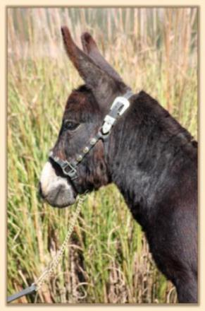 Dan D Lion, black miniature donkey gelding for sale