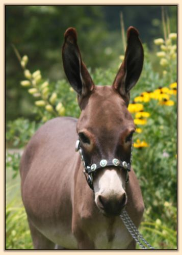 Shell Acres Sweet Georgie Brown, miniature donkey gelding for sale