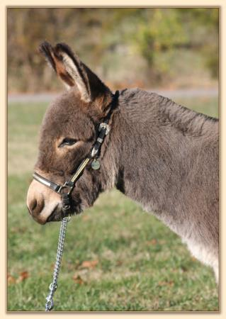 KiTerra's Yoda, gray-dun miniature donkey gelding for sale at Half Ass Acres Miniature Donkeys