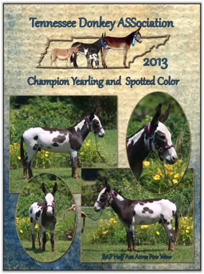 Pow Wow, 2013 Tennessee High Point Champion Halter Yearling Jack/Gelding