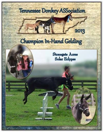 Stonegate Acres Solar Eclypse, 2013 Tennessee High Point Champion In-Hand Gelding