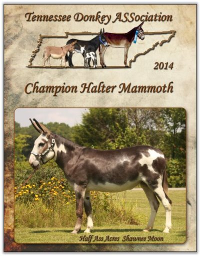 Half Ass Acres Shawnee Moon, Champion Halter Mammoth