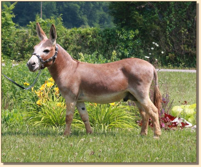 Windcrest Firefly, dark red miniature donkey jack with star