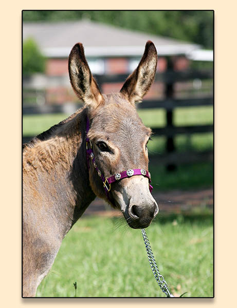 Troytown's Mud Pi Coded, miniature donkey jennet for sale at Half Ass Acres in Chapel Hill, Tn.