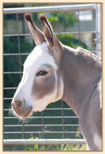 Dewey Meadows Valerie, spotted miniature donkey brood jennet at Half Asss Acres