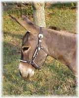 Miniature Donkey My World Mexican Bob (6153  bytes)