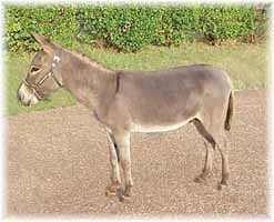 Miniature Donkey My World Mexican Bob (8040  bytes)
