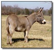 miniature donkey jack for sale, Cracker Jack (10,361 bytes)