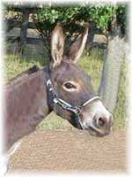 Miniature Donkey My World Diablo (5665  bytes)
