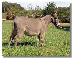 Miniature Donkey Gelding, My World Max (14,020 bytes)