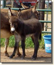HAA Invincible,  brown miniature donkey jack for sale!! (14,712 bytes)