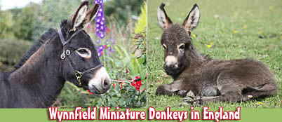 Wynnfield Miniature Donkeys in England